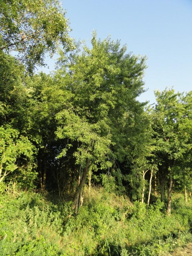 boom amerikaanse bospest, hier in een bestaande bosrand vermeerderd hij zich niet agressief