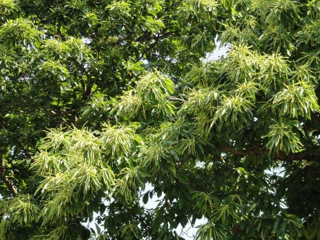volop bloei in de tamme kastanje