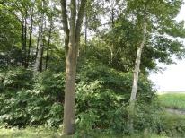 amelanchier in een bosrand