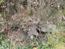 een nog amper levende stobbe, eiken zijn taai