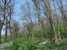eikenlaan met aan de rechter kant eiken hooghout of middenhout