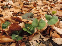 zaailingen met rood blad (2)