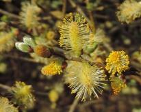 wilgen katjes Salix aurita (4)