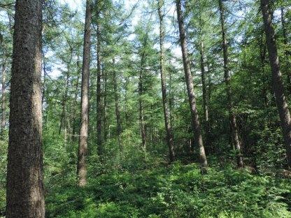 lariks bosbouw met onderbegroeing (5)