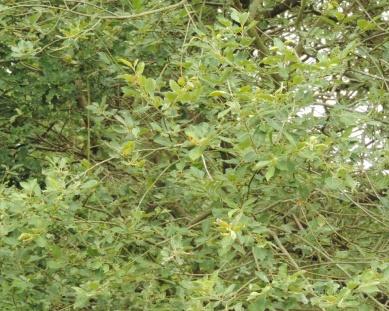 grauwe wilg (2)