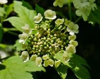 gelderse roos (1)